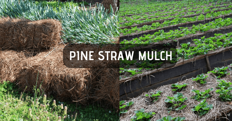 Pine straw mulch in the vegetable