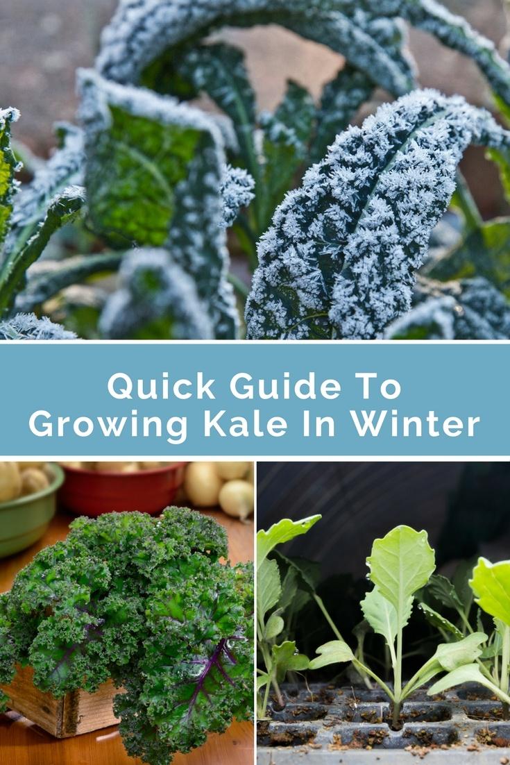 growing kale in winter