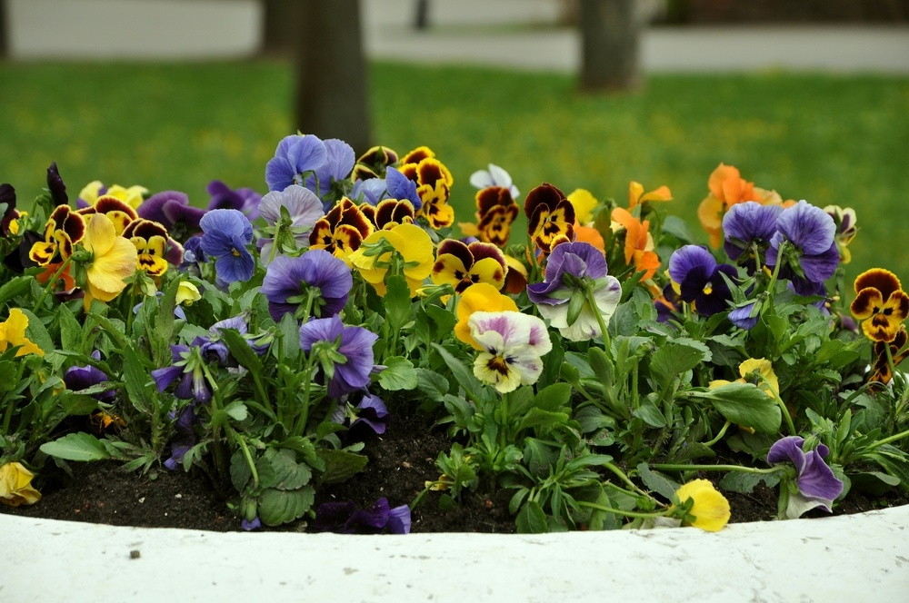 Can Pansies Survive Frost