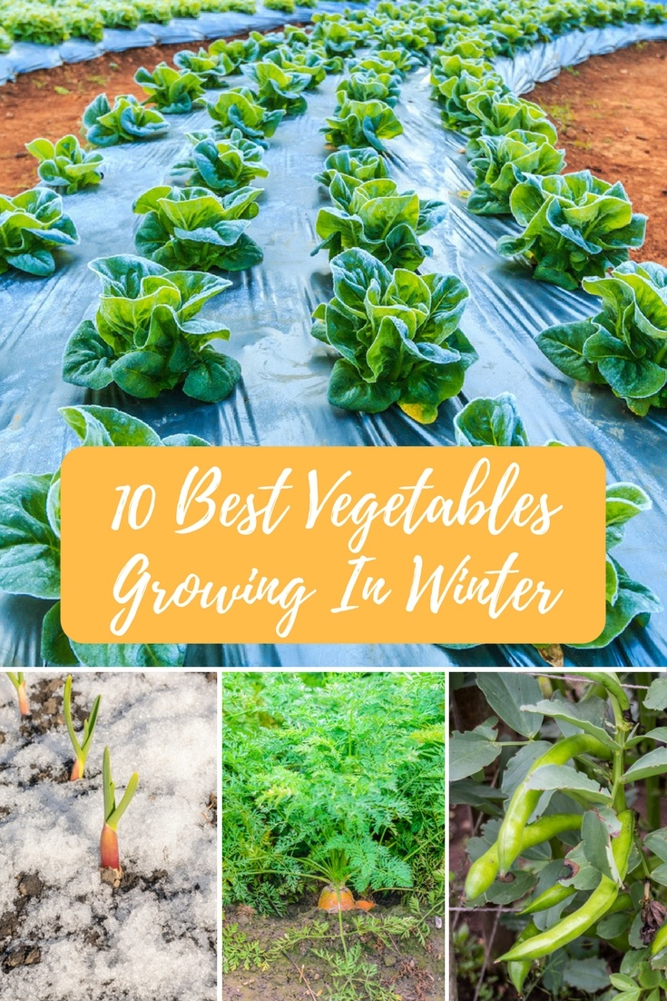 10 best vegetables growing in winter a green hand