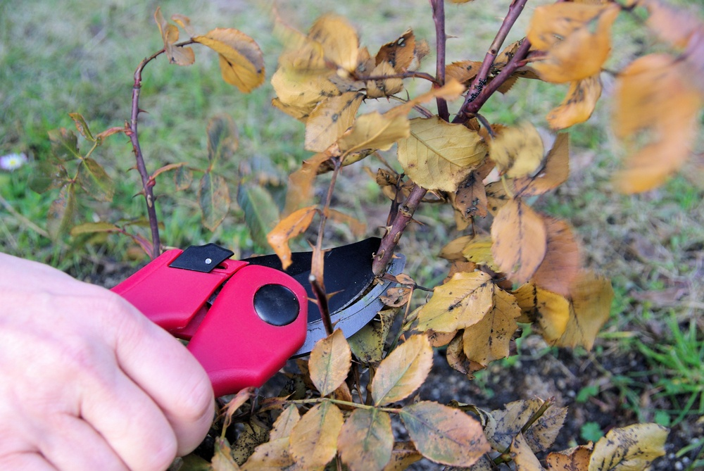 pruning roses for winter