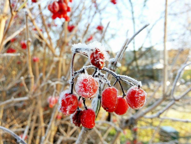 protecting fruit trees from frost