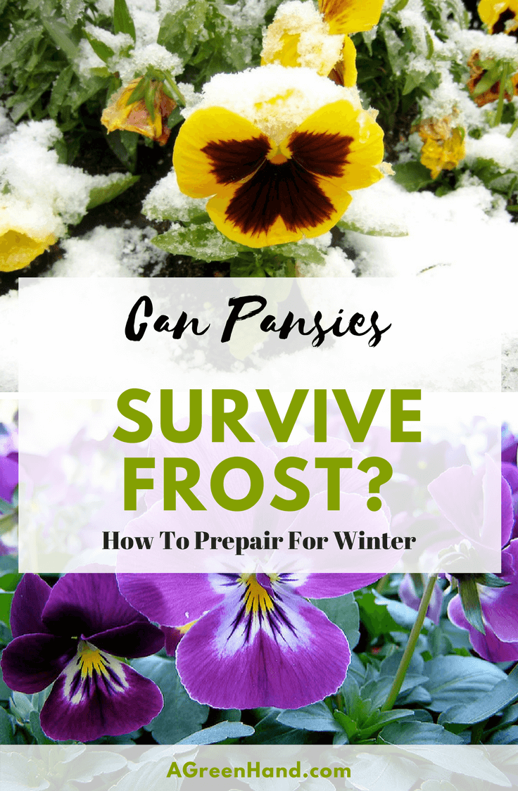 "Pansies are lovely flowers for your winter garden. But you might be asking, ""Can pansies survive the frost?"" You want to be sure that your efforts in planting them won't go to waste. Planting flowers in fall that will just die in winter is a waste of time, money, and efforts. #pansies #wintergardening #frost #flowers"