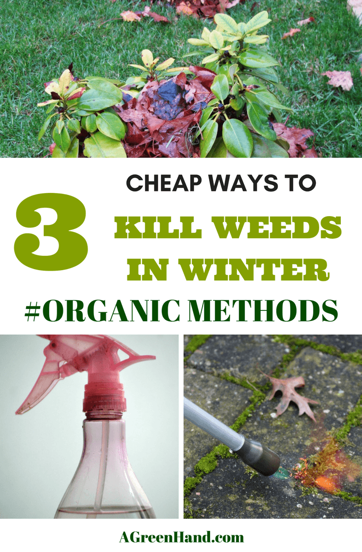 3 Cheap ways to kill weeds in Winter. When the cold season arrives, killing weeds in the freezing weather is the last thing you want to do. Are you upset just thinking about managing those pesky weeds in your freezing backyard? Don't worry; it doesn't turn out that bad. #killweeds #organicmethods #weedsinwinter #wintergardening #vinegar #propanetorch #mulching
