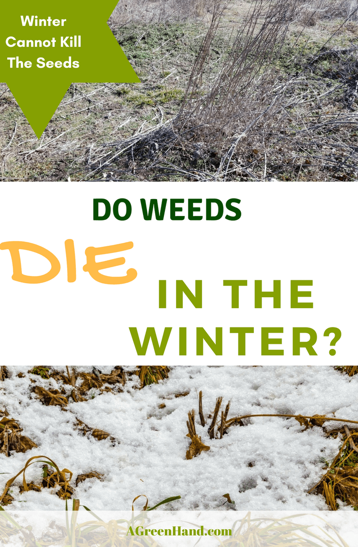 Do weeds die in the winter? Can this season offer a break in the maintenance routine and control these unwanted growth? #weedscontrol #wintergardening #weedsdie
