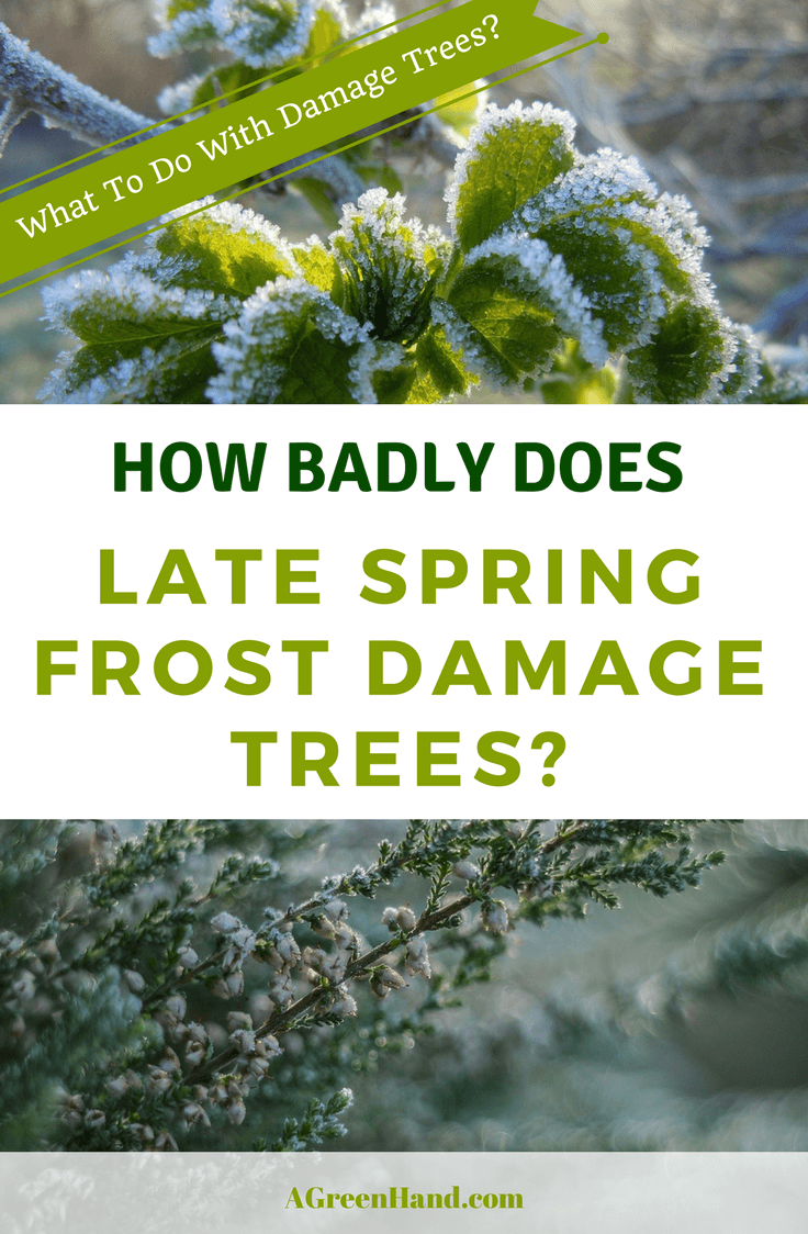 A frost can unexpectedly arrive in the late period of spring and lead to plant shock. So, how much can a late spring frost damage trees? Here, we look at the possible actions you can take to protect your trees from the onset of a late spring frost. #springgardening #frost #deathtrees #protecttrees