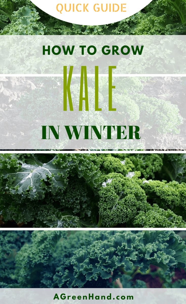 How To Grow Kale In Winter. #growkale #wintergardening #frost #gardening #howto #coldweather #organicgarden #organickale