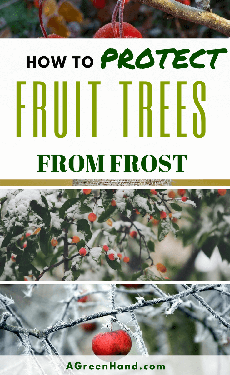 Frost is bad for fruit-bearing trees. After all, frost can damage the leaves and prevent your fruit trees from bearing fruits optimally. Whether you have mango trees or banana trees, you cannot risk them being damaged due to the harsh effects of the cold winter season. Thus, having ample knowledge of protecting fruit trees from frost is important. #wintergardening #protectplants #fruittrees #coldwinter #frost #treewrap #sprinklersystem