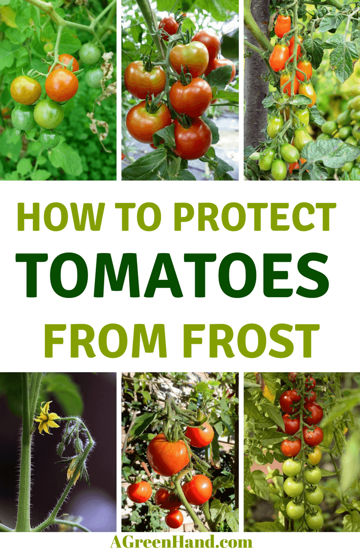 How to protect tomatoes from frost #tomatoesplant #gardening #frost #wintergardening