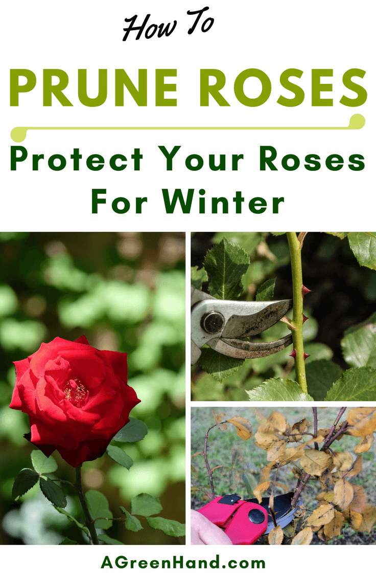 When pruning roses for winter, you should take note of the type of rose you're pruning. Early spring is the best time to prune hybrid roses, for example. #pruningroses #protectroses #wintergardening