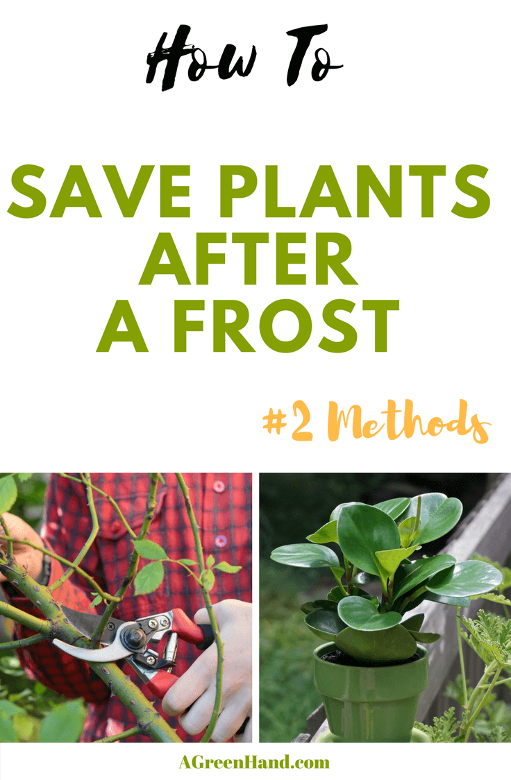 Are you faced with a garden full of plants that have been frost-damaged? My first instinct then was to prune and remove the dead plants. Some plants will recover on their own after some time. However, you can help them to fast tract the recovery of frost damaged parts. Here are ways on how to save plants after a frost. #saveplants #frost #protectplants #pruning #growindoor
