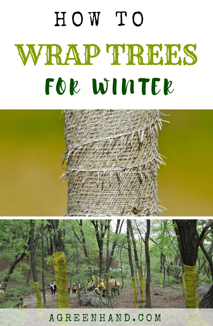 The winter season isn't exactly a wonderful time for the trees in your lawn. After all, not all plants and trees are meant to thrive when the sun is barely out and the soil is prone to freezing. Once an unexpected frost arrives, the cells of woody plants can be quickly damaged before they've become strong enough to fend off the cold winds. #wintergardening #wraptrees #winterplants #gardeningideas