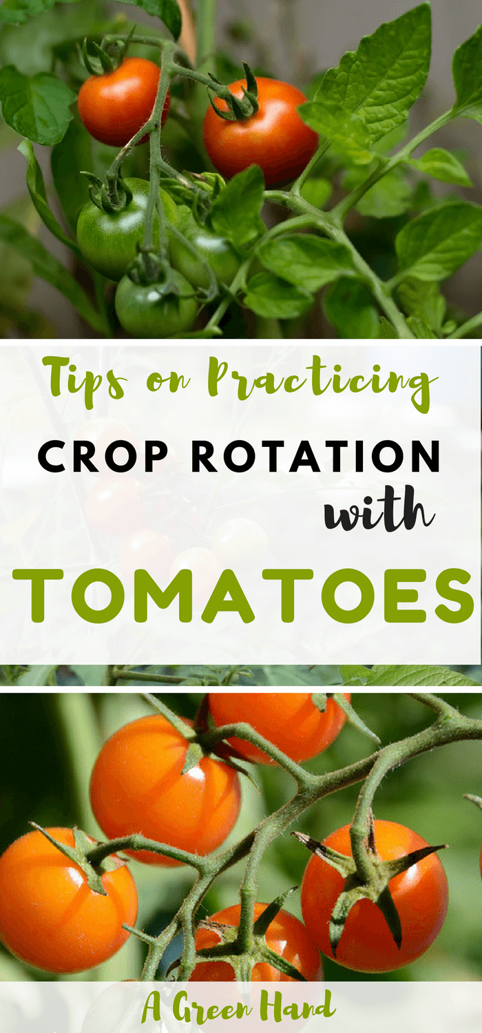 Practicing Crop Rotation With Tomatoes #croprotation #tomatoes #vegetablegarden #agreenhand
