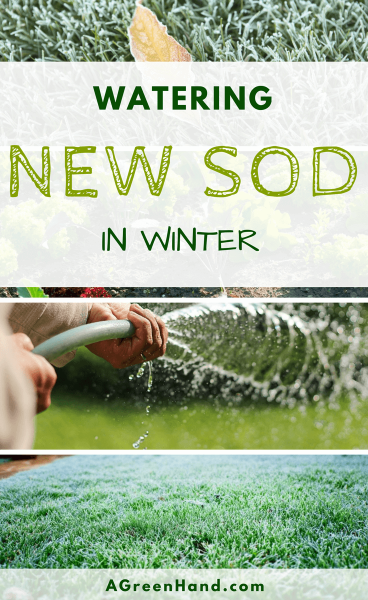 Are you worried about the survival of your sods this coming winter? Lawn maintenance varies every season. Watering new sod in winter right is important to keep them alive. #wateringsod #lawnmaintenance #wintergardening #gardening