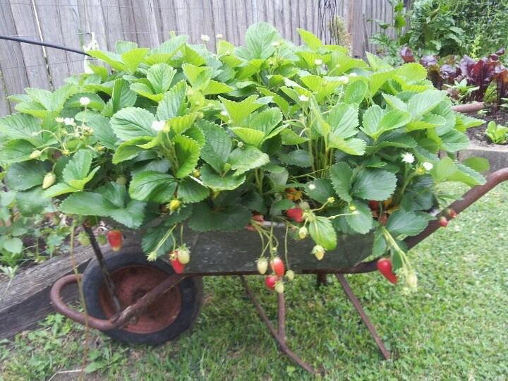 10 Brilliant Strawberry Garden Ideas - A Green Hand