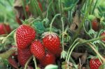 10 Brilliant Strawberry Garden Ideas