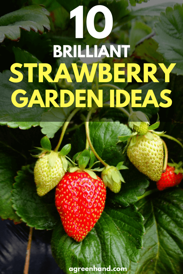Are you a big fan of strawberries? Apart from its sweet flavor and distinct aroma, strawberries also look good in the garden due to their vibrant and red appearance.