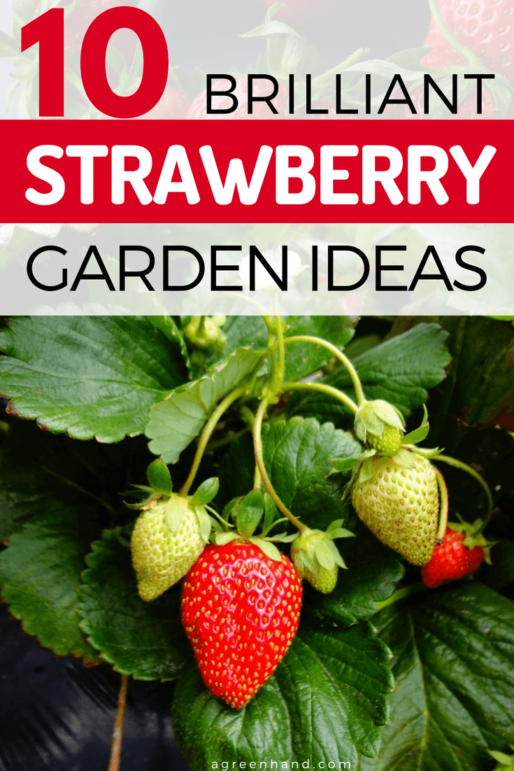There will always be a way to grow strawberries. Small gardens can benefit from vertical forms of strawberry planting.