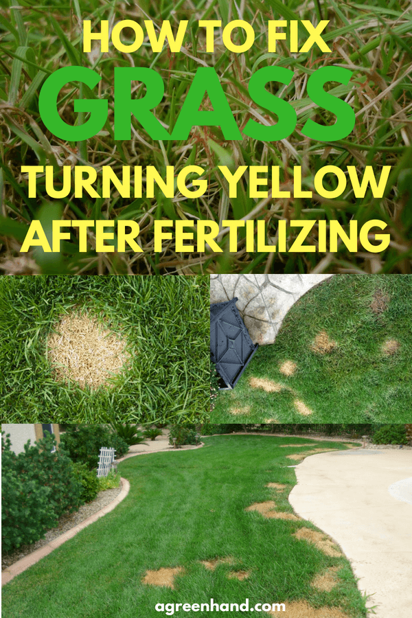 After being fertilized for a few days, your grass turned yellow. What happened? Fertilizer encourages the growth of a green and healthy lawn.
