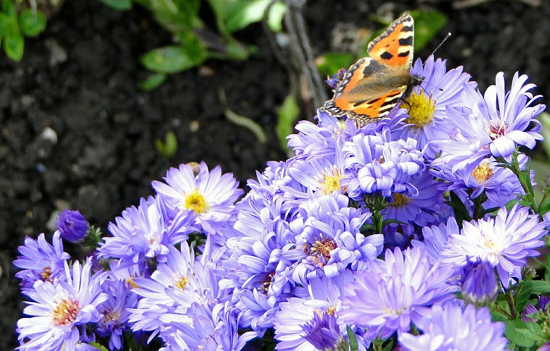 how to attract butterflies for garden