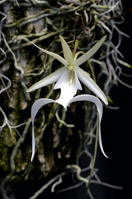 Dendrophylax Lindenii - Ghost Orchid in Florida