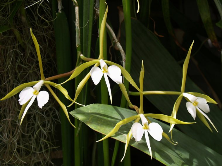 Epidendrum Orchid plants