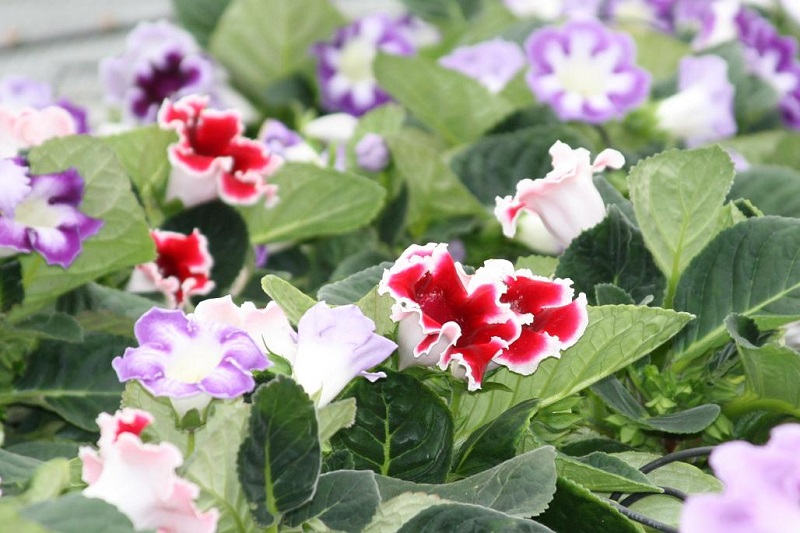 how to care for gloxinia