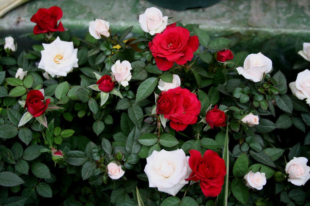 Growing Miniature Roses