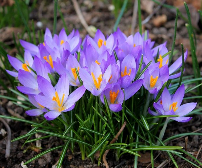 How To Force Spring Bulbs