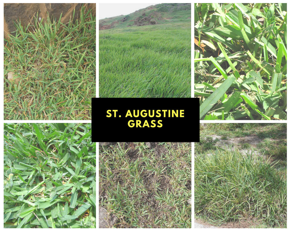 Types of St. Augustine Grass Pictures