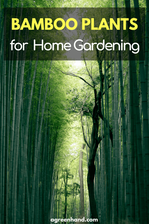 Bamboo Plants for Home Gardening   Bamboo House Plant   How to plant Bamboo in garden #gardening #bamboo #agreenhand