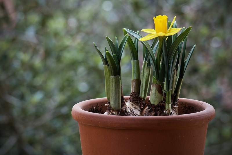 Forcing Spring Bulbs