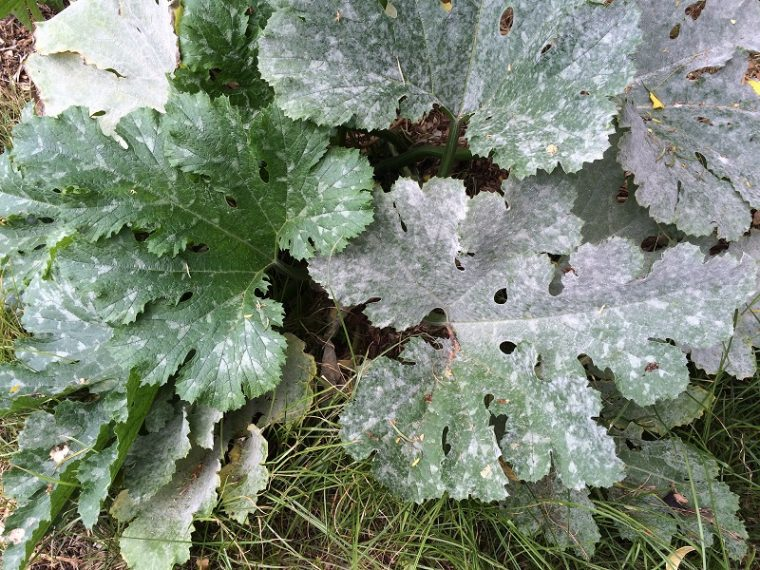 Dealing with a Powdery Mildew Problem