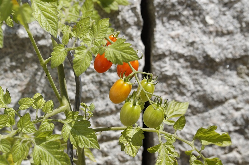 fertilizer for tomatoes