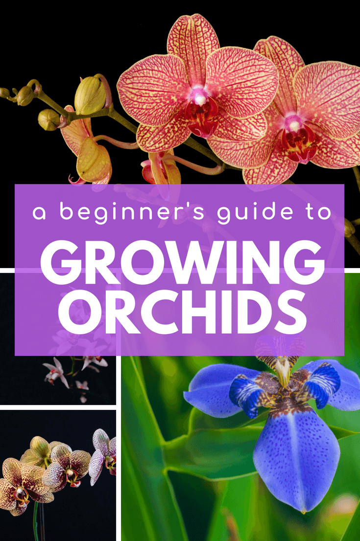 Check out this guide on growing orchids for beginner | how to grow orchids | caring for orchids #garden #agreenhand