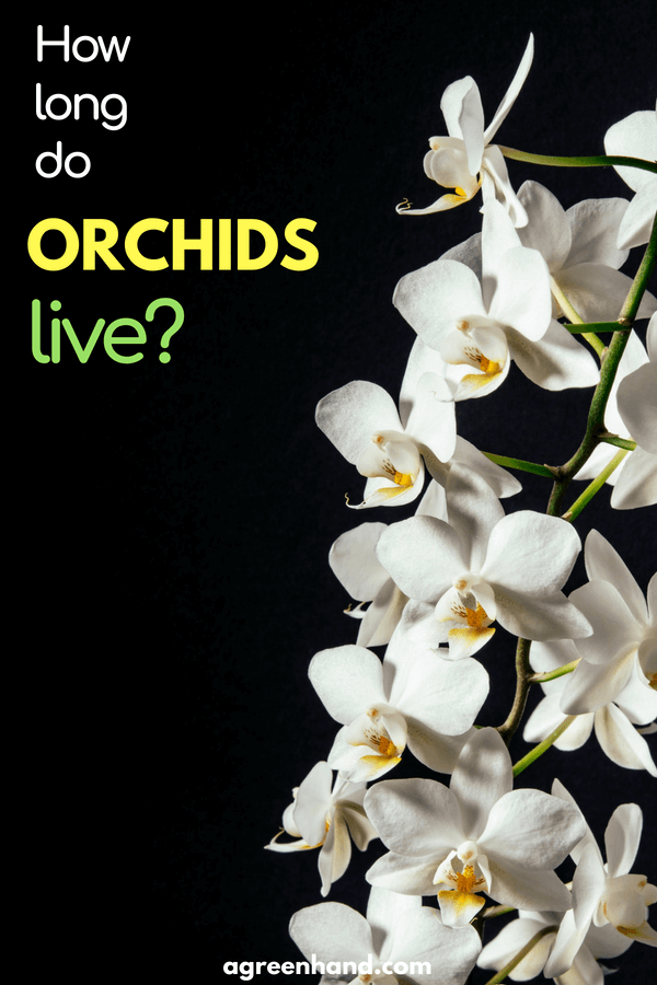 Check out this article to know the question how long do Orchids live? Caring for Orchids | How to keep orchids alive #orchid #garden #agreenhand