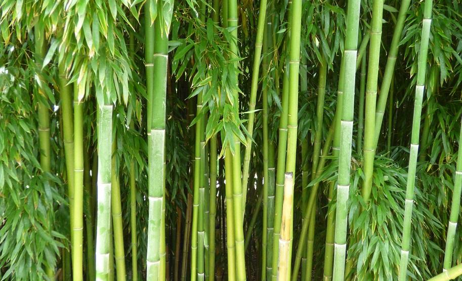 how to grow bamboo