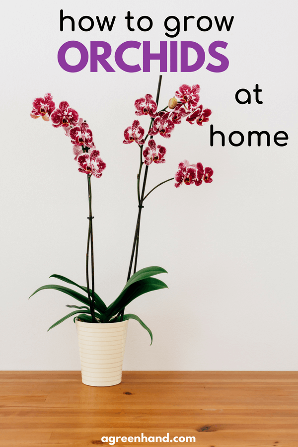 Do you know that orchids like babies need special attention? Are orchids difficult to grow? Check out this guide to know how to grow Orchids at home | How to repot orchids | caring for an orchid | how to keep orchids alive #garden #orchid #agreenhand