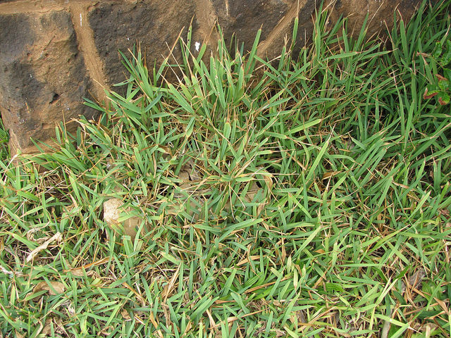 What Is The Difference Between Bermuda Grass And St  Augustine?