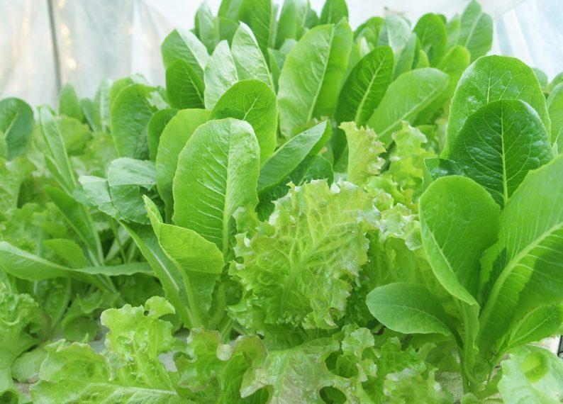 hydroponics vegetable gardening