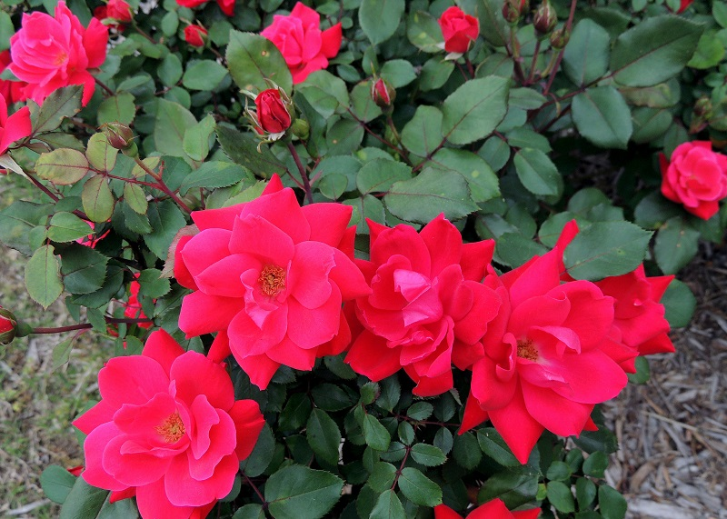 pruning rose bushes