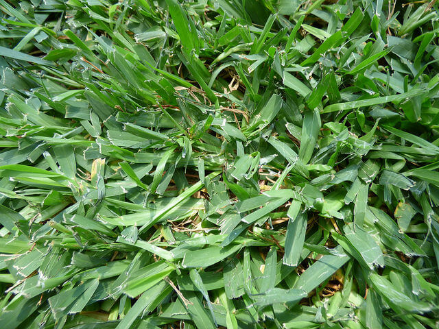 A type of St. Augustine Grass