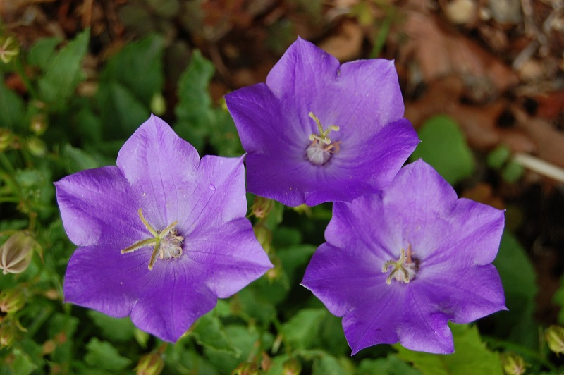Blue Clips Campanula