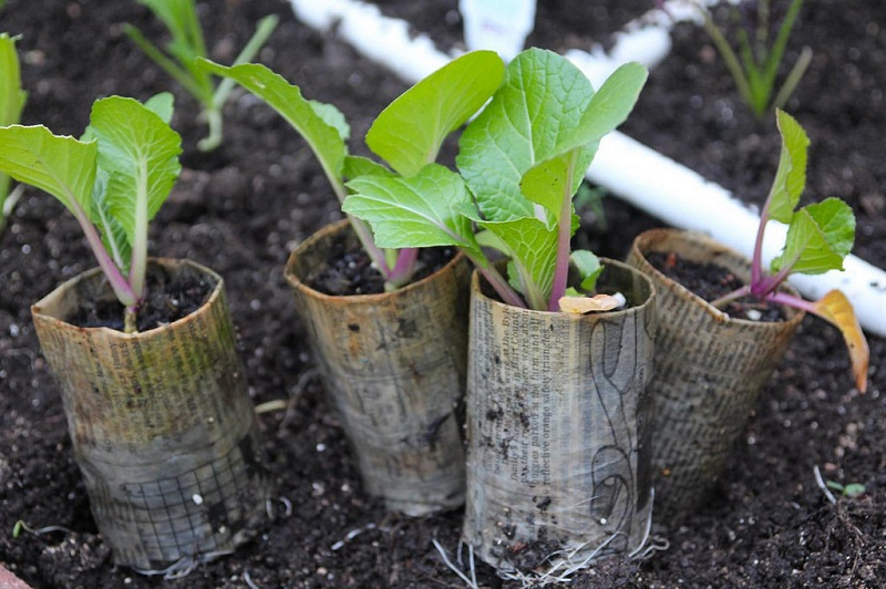 Bok Choy Seedling