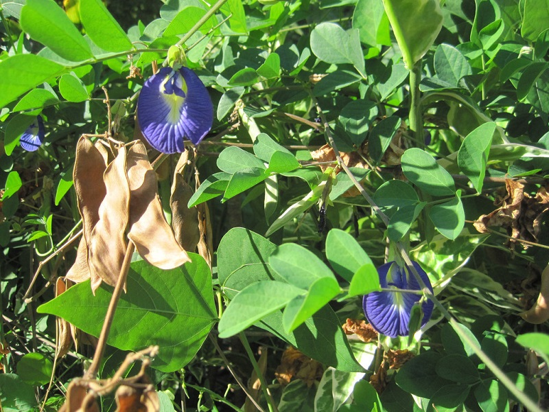 Butterfly pea plant