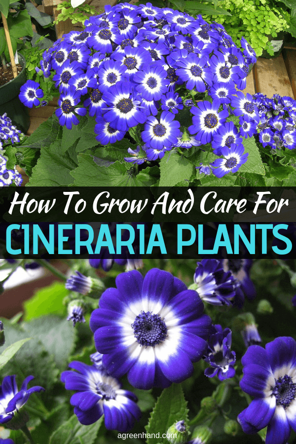The cineraria or senecio cruentus is a brightly-colored, popular and attractive winter- or spring-flowering houseplant. Maintaining healthy cinerarias is not actually too difficult in practice. #CinerariaPlantcare #growCinerariaPlants #agreenhand #CinerariaPlants