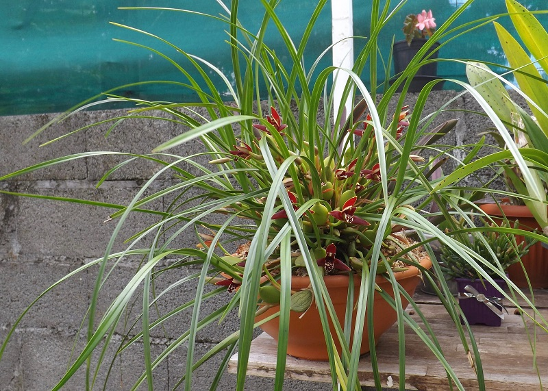 Coconut Orchid plant