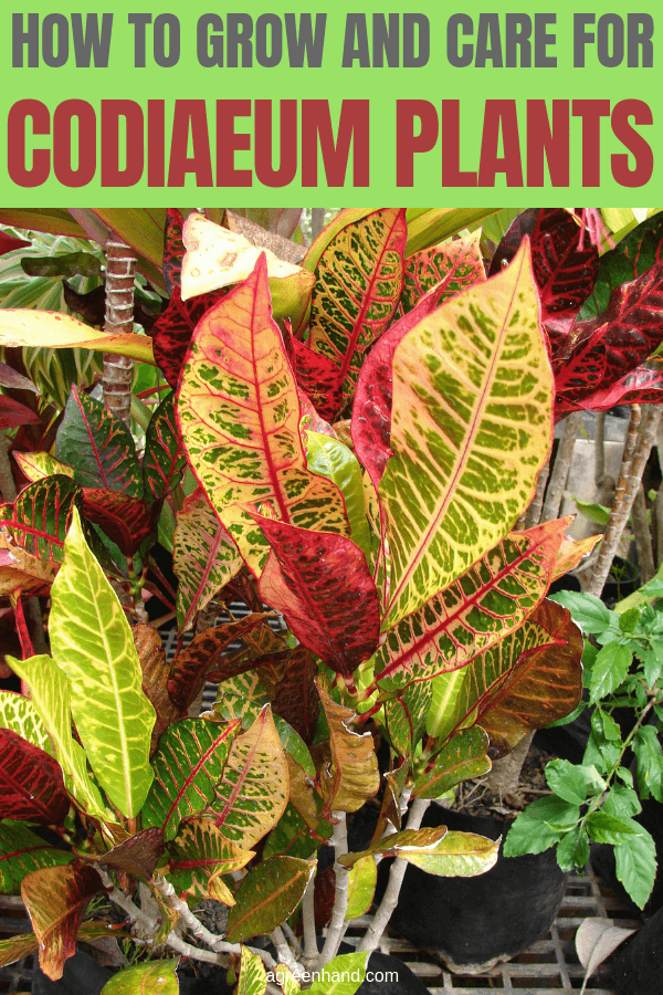 The Codiaeum or Croton is an attractive houseplant whose gaudy colors cause the plant to be either loved or hated. It does have minimum care requirements. #Codiaeumcare #Codiaeum #Codiaeumgrow #Crotoncare #agreenhand