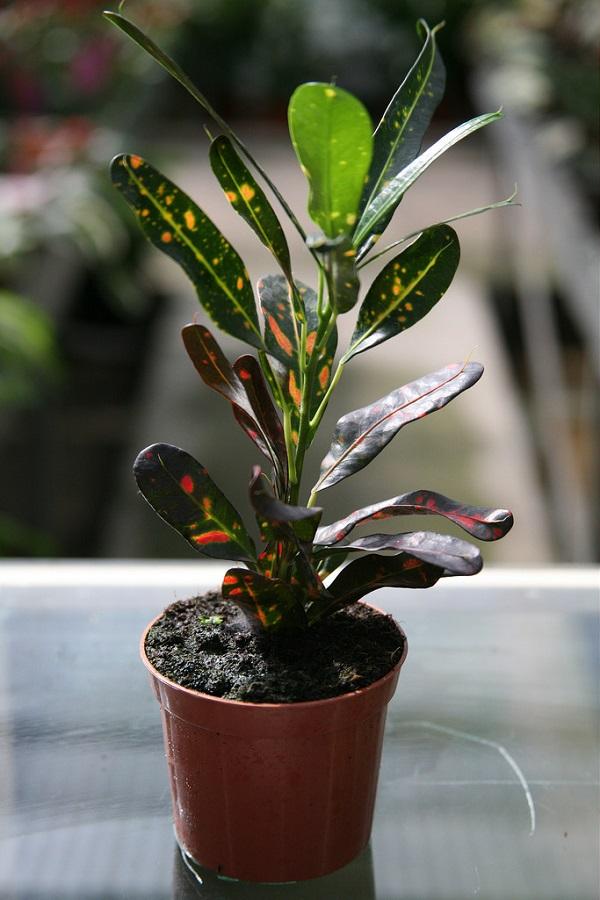Codiaeum variegatum pictum