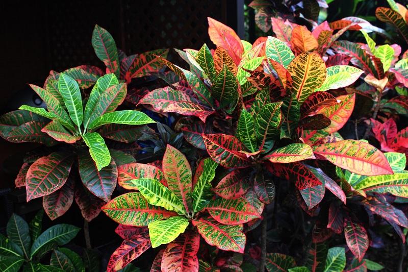Codiaeum variegatum plant